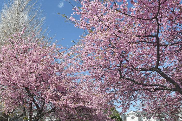 桜お花見♪ <鵯>_e0248688_17574077.jpg