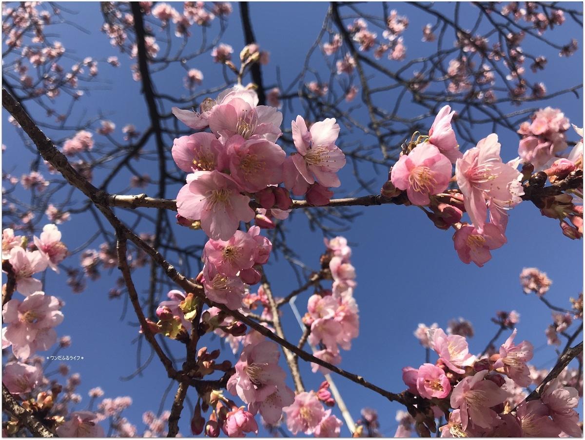 * 桜のトップバッター見頃 *_d0317115_20583527.jpg