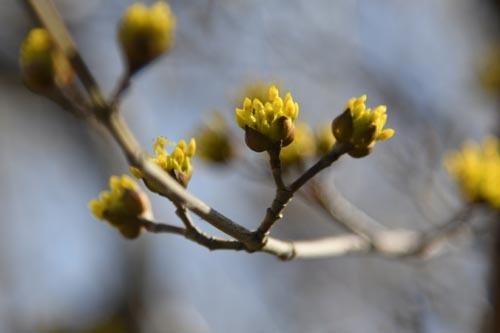 21年早春の自然(12)…サンシュユの黄色(1)_c0062934_21102485.jpg