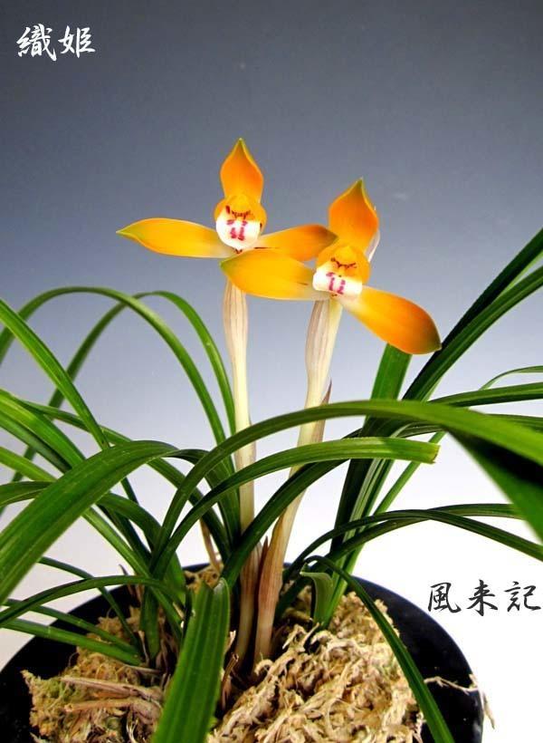 日本春蘭「織姫」          No.2083_d0103457_00100502.jpg