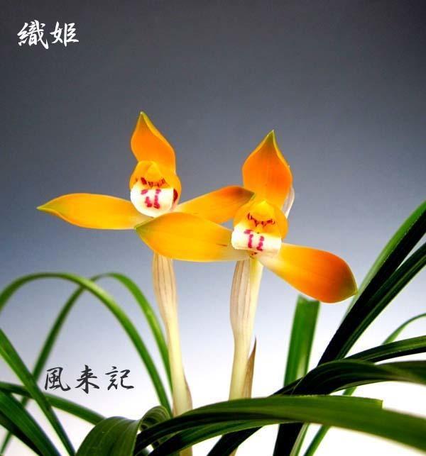 日本春蘭「織姫」          No.2083_d0103457_00101981.jpg