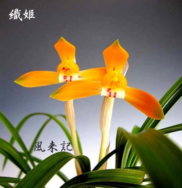日本春蘭「織姫」          No.2083_d0103457_00102675.jpg
