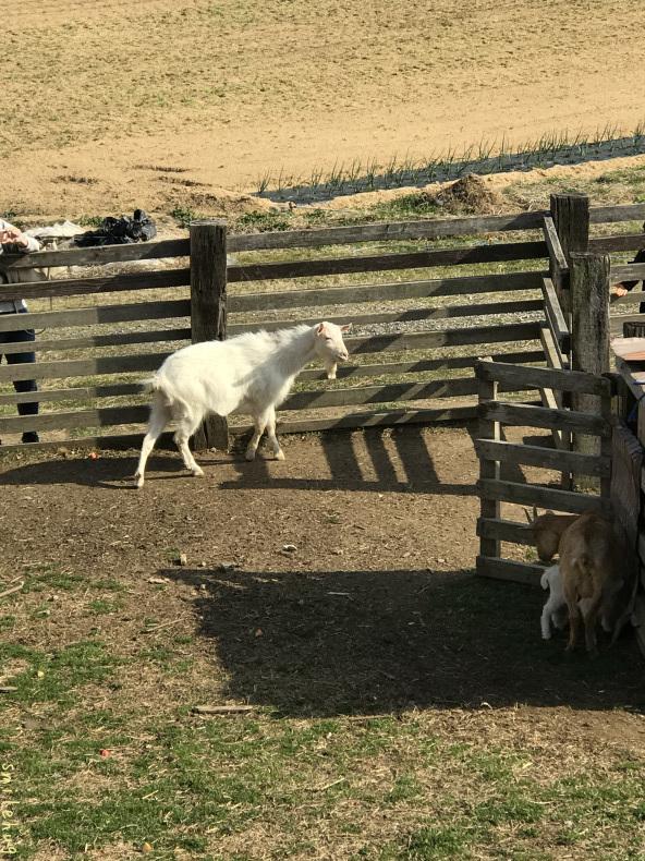 離乳期のヤギの親子_d0063558_16352518.jpeg