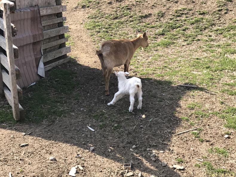 離乳期のヤギの親子_d0063558_16362405.jpeg