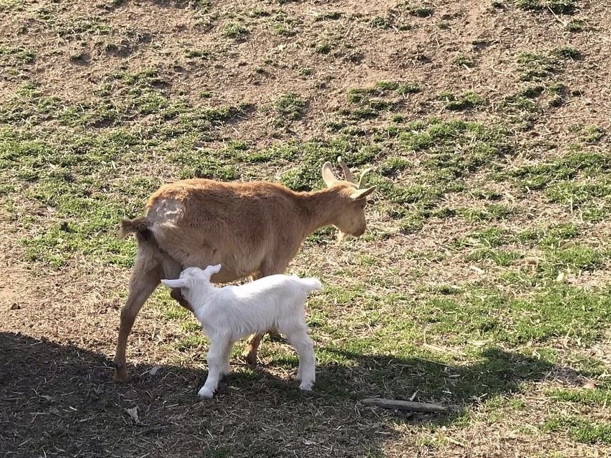 離乳期のヤギの親子_d0063558_16380345.jpg