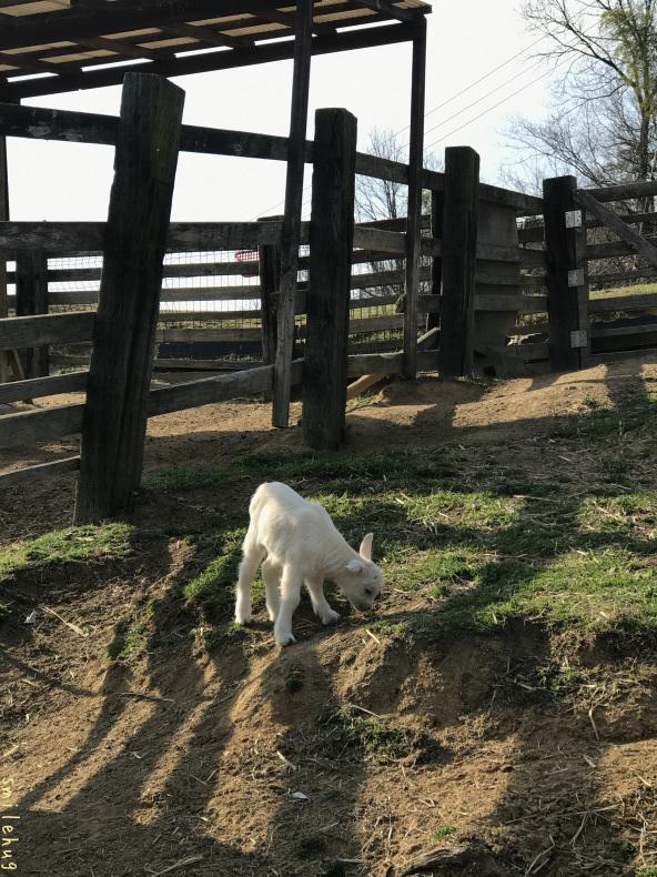 離乳期のヤギの親子_d0063558_16422555.jpeg