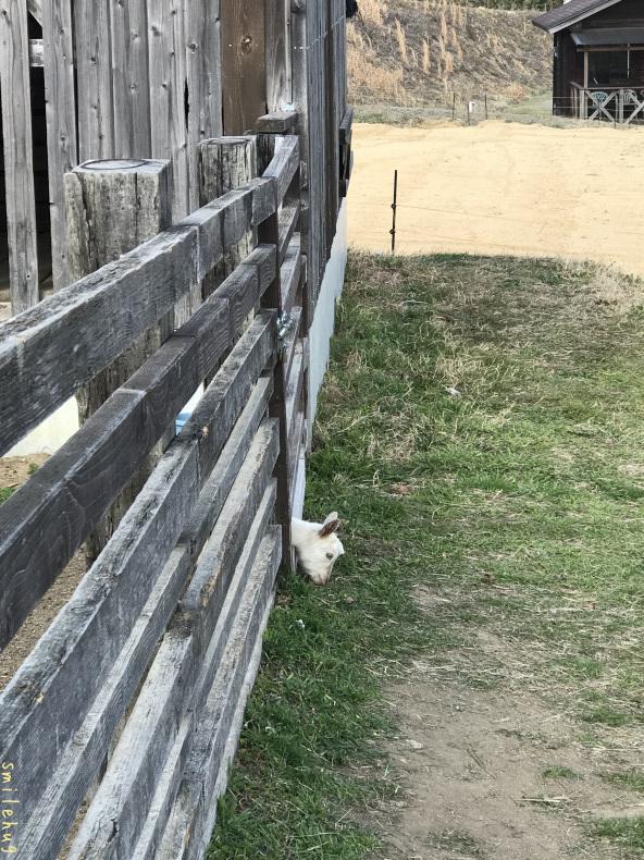 離乳期のヤギの親子_d0063558_16432953.jpeg
