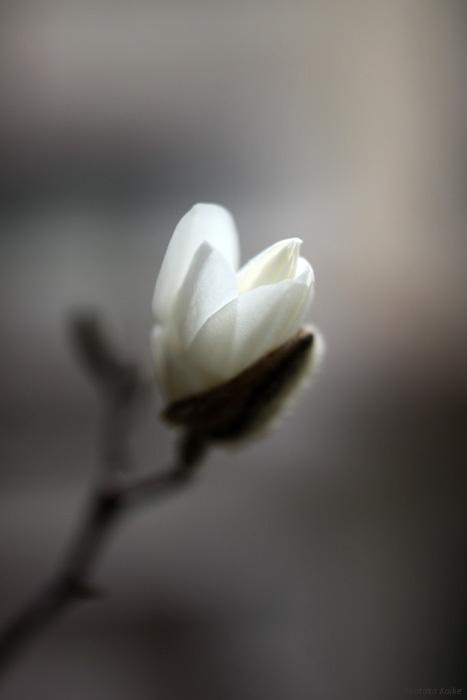 Magnolia_c0161578_22134015.jpg