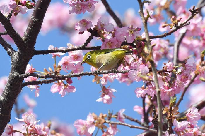 お花見♪ <目白・鵯>_e0248688_18054879.jpg