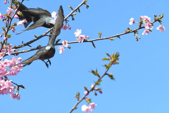 お花見♪ <目白・鵯>_e0248688_18073797.jpg