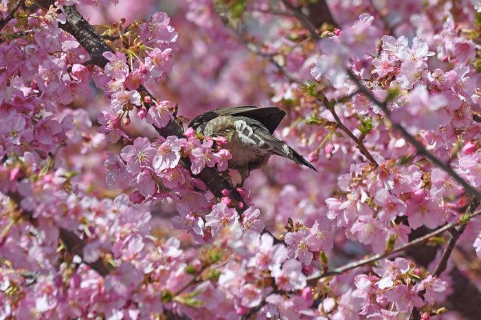 お花見♪ <目白・鵯>_e0248688_18080440.jpg