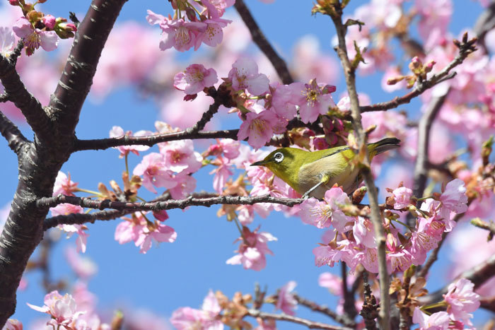 お花見♪ <目白・鵯>_e0248688_18081982.jpg