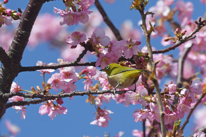 お花見♪ <目白・鵯>_e0248688_18083627.jpg