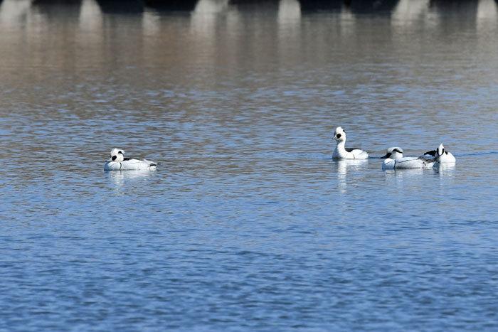 お池の鴨さん♪ <神子秋沙>_e0248688_18162651.jpg