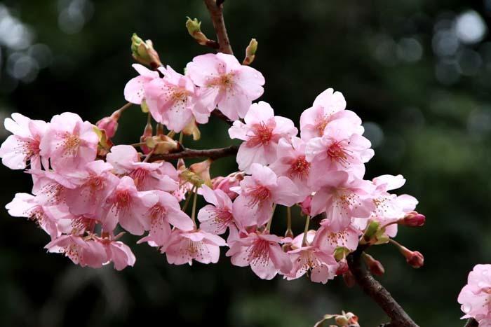 河津桜が盛りに 一条戻り橋_e0048413_20104244.jpg