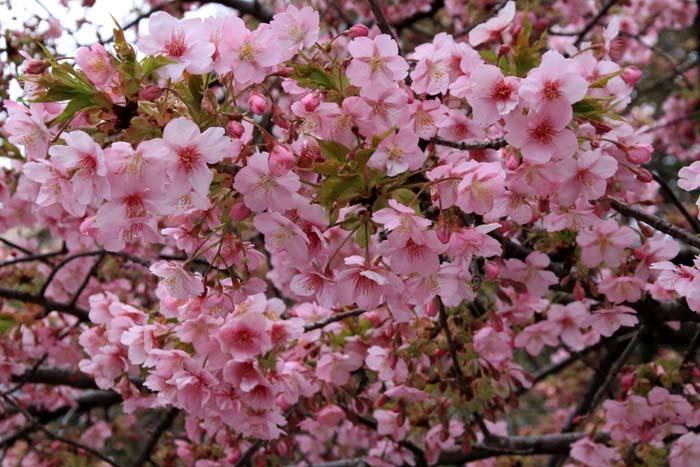 河津桜が盛りに 一条戻り橋_e0048413_20104739.jpg