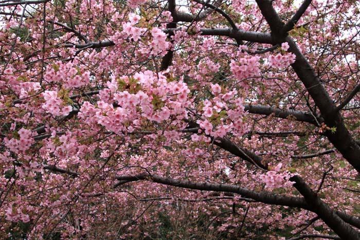 河津桜が盛りに 一条戻り橋_e0048413_20105508.jpg