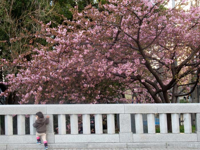 河津桜が盛りに 一条戻り橋_e0048413_20110149.jpg