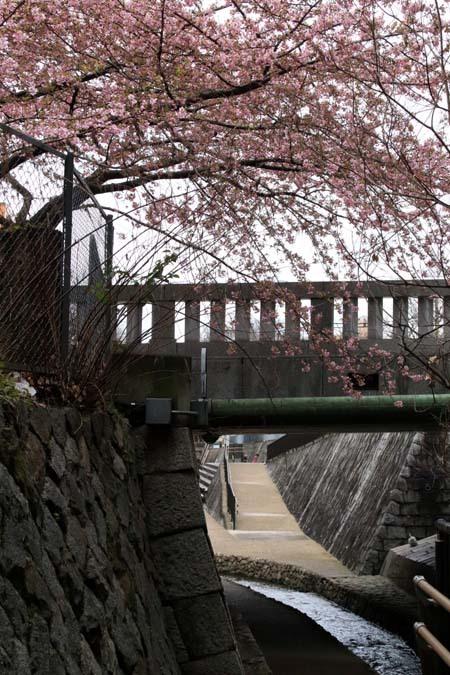 河津桜が盛りに 一条戻り橋_e0048413_20110613.jpg