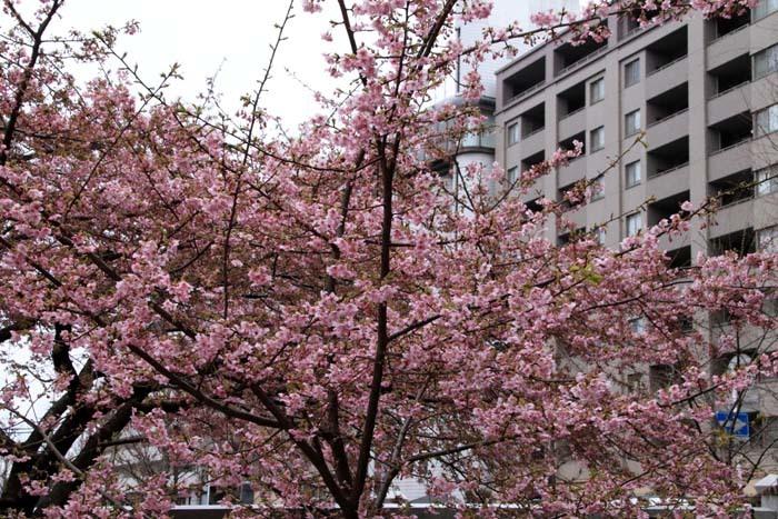 河津桜が盛りに 一条戻り橋_e0048413_20111118.jpg