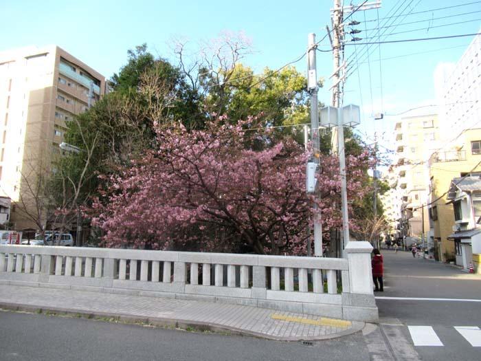 河津桜が盛りに 一条戻り橋_e0048413_20111614.jpg