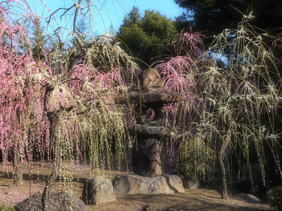 梅 15   京都府_d0286954_05380492.jpg