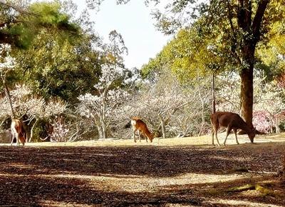 奈良公園の梅林は梅と鹿が楽しめます♪_b0194861_18422972.jpg