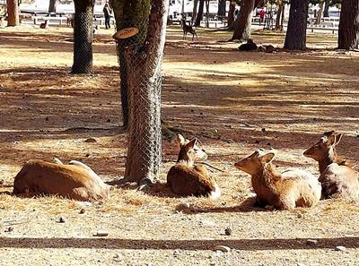 奈良公園の梅林は梅と鹿が楽しめます♪_b0194861_18453893.jpg