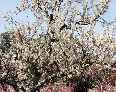 奈良公園の梅林は梅と鹿が楽しめます♪_b0194861_19473477.jpg