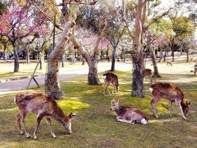 奈良公園の梅林は梅と鹿が楽しめます♪_b0194861_20431283.jpg