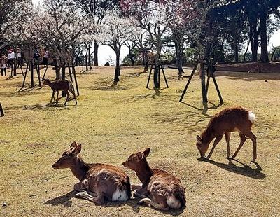 奈良公園の梅林は梅と鹿が楽しめます♪_b0194861_22040799.jpg