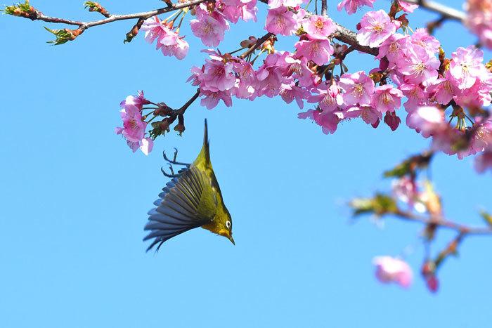 お花見♪ <目白・鵯>_e0248688_19323066.jpg