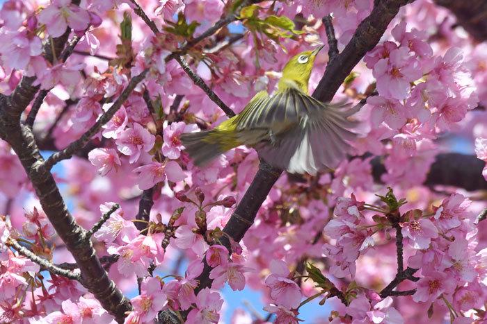 お花見♪ <目白・鵯>_e0248688_19324610.jpg