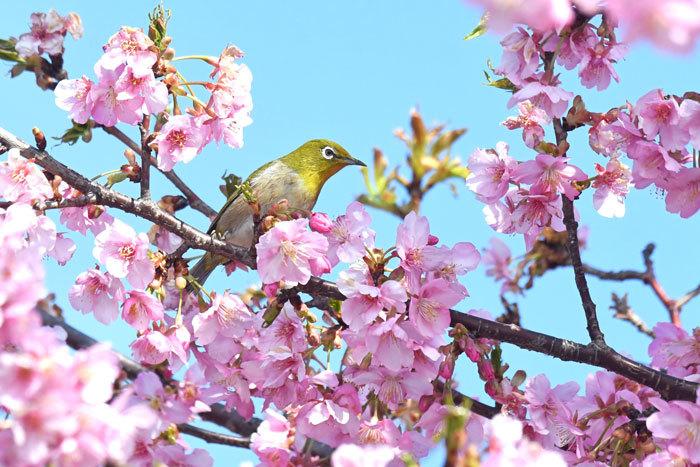お花見♪ <目白・鵯>_e0248688_19325640.jpg