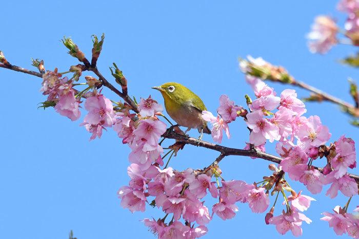 お花見♪ <目白・鵯>_e0248688_19331288.jpg