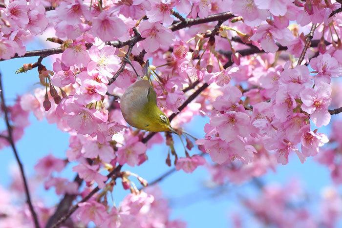 お花見♪ <目白・鵯>_e0248688_19333633.jpg
