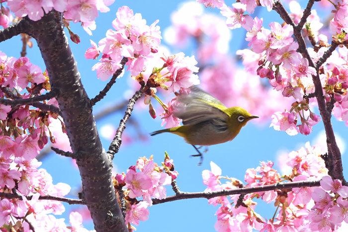 お花見♪ <目白・鵯>_e0248688_19350415.jpg
