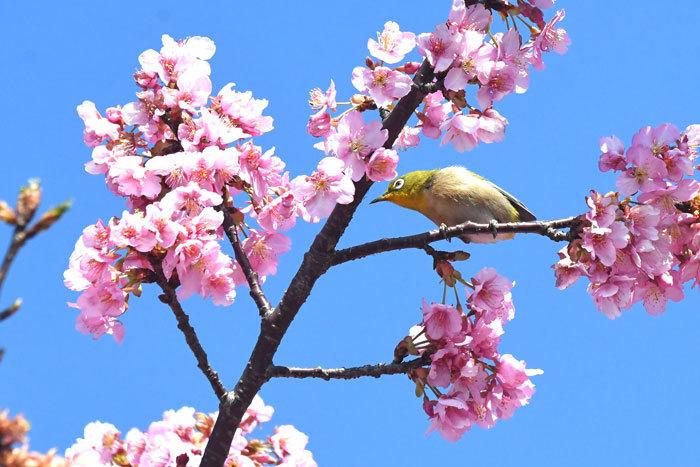 お花見♪ <目白・鵯>_e0248688_19351649.jpg