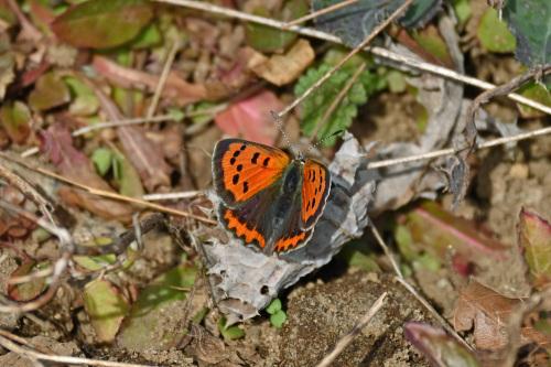 ベニシジミ  初見の蝶たち_d0353091_18265496.jpg