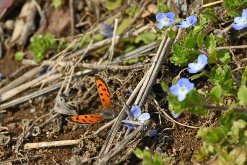 ベニシジミ  初見の蝶たち_d0353091_18282671.jpg
