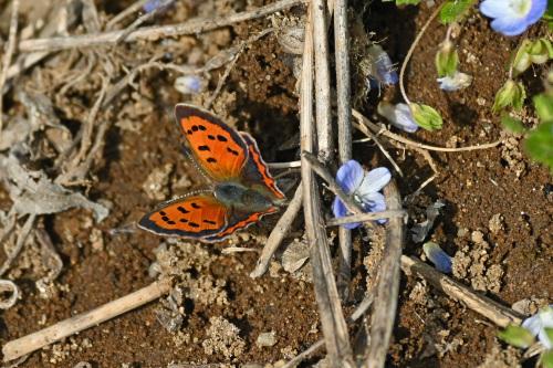 ベニシジミ  初見の蝶たち_d0353091_18290059.jpg