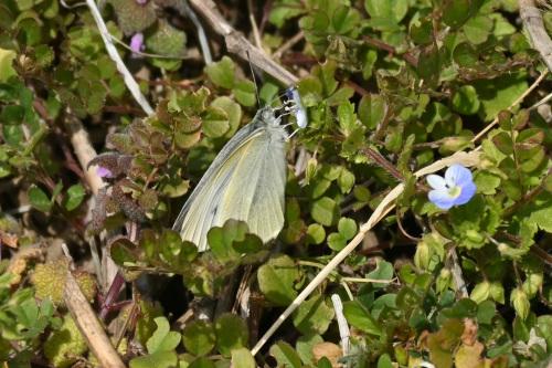 ベニシジミ  初見の蝶たち_d0353091_18294800.jpg