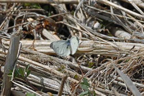 ベニシジミ  初見の蝶たち_d0353091_18301129.jpg