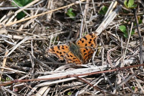 ベニシジミ  初見の蝶たち_d0353091_18304603.jpg