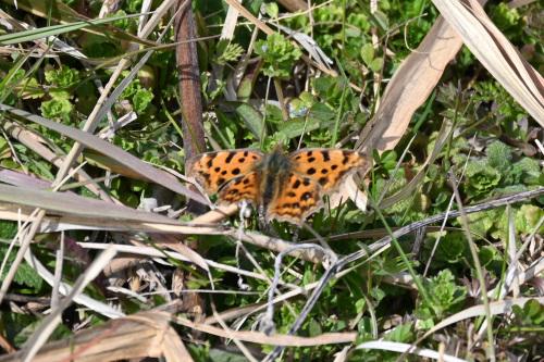 ベニシジミ  初見の蝶たち_d0353091_18312319.jpg