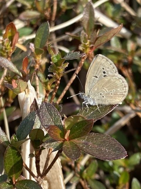 2021年の新成蝶はヤマトシジミでスタートしました_b0053192_14354247.jpeg