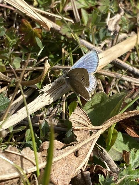 2021年の新成蝶はヤマトシジミでスタートしました_b0053192_14355952.jpeg