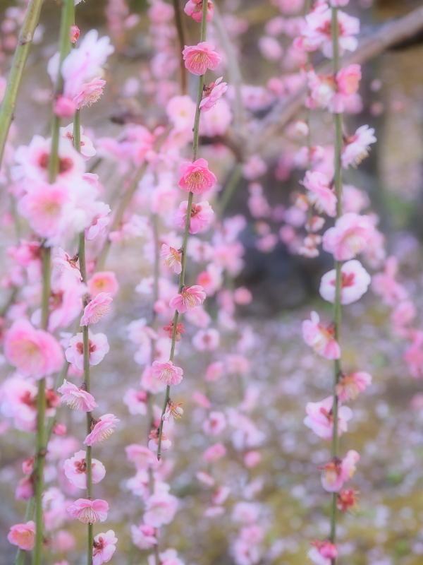 梅 16   京都市_d0286954_05151462.jpg