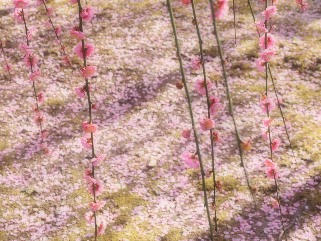 梅 16   京都市_d0286954_05152232.jpg