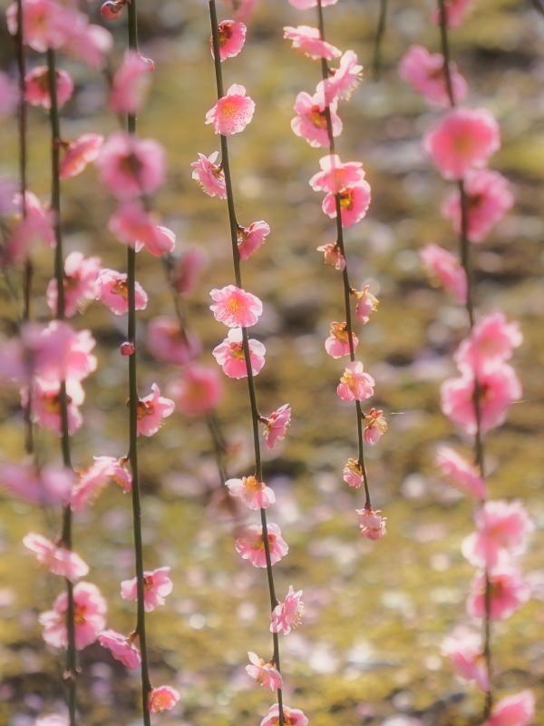 梅 16   京都市_d0286954_05152757.jpg